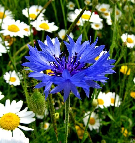 пиигадаю ті волошки сині квіти