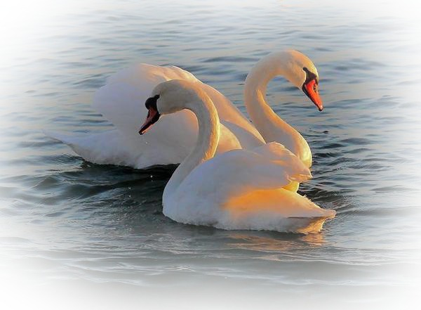 Гифы лебедь белая