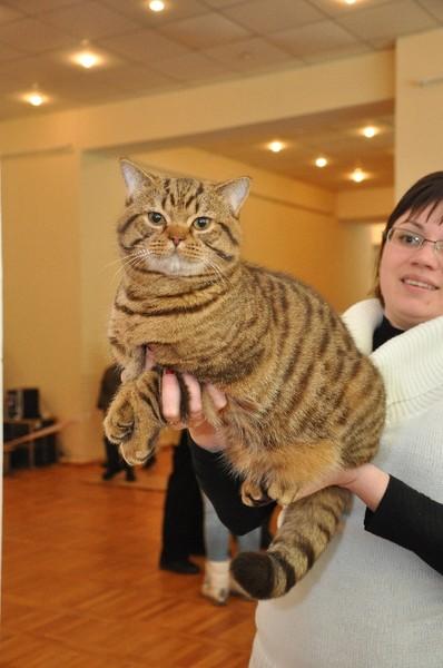 живот у британских кошек