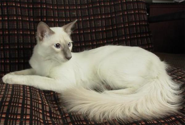 болоньез кошка фото