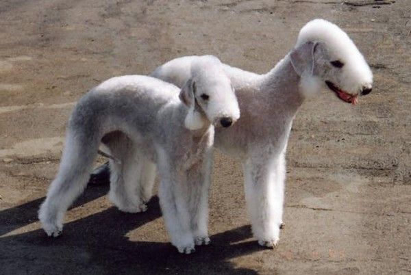 фото собака похожая на крысу