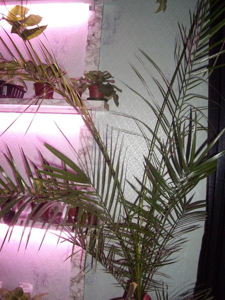 Пальма в доме приметы