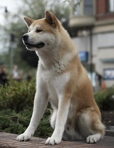из фильма хатико фото собаки