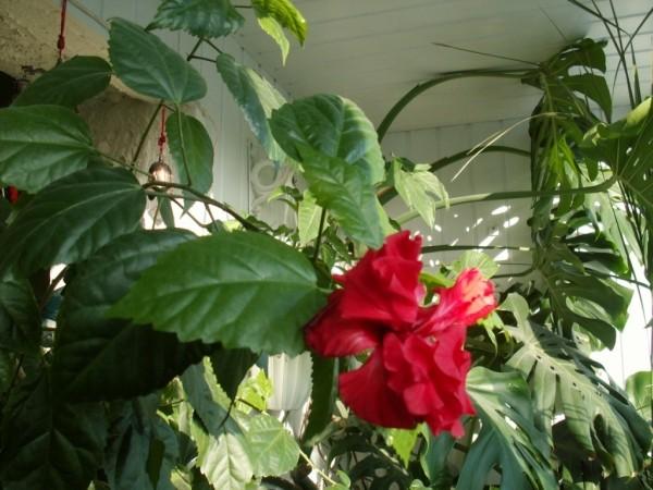 К розы комнатной желтеют листья что делать 103