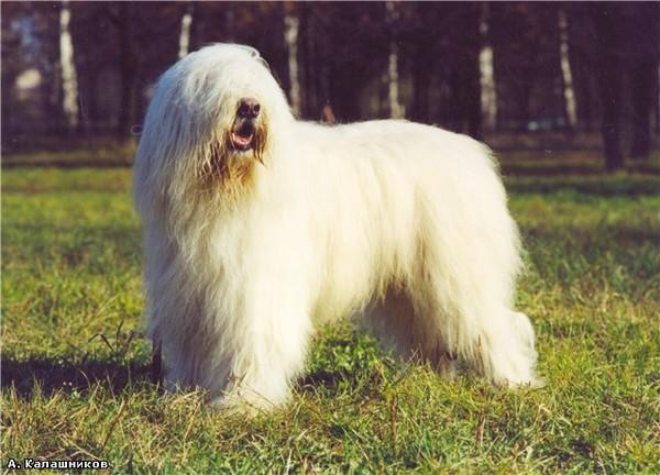 порода собак большая лохматая