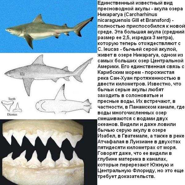 где водятся пресноводные акулы