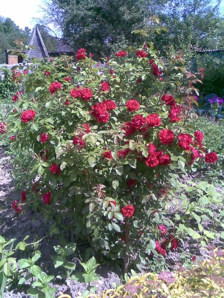 Плетистая роза не цветёт