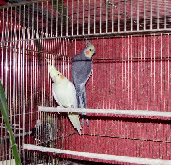 Попугай корелла адаптация
