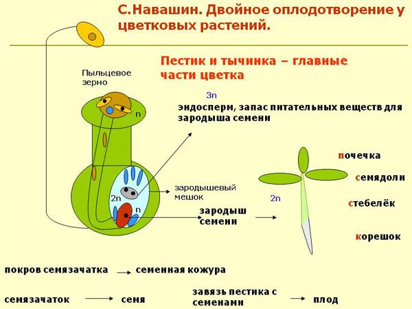 Эндосперм образование