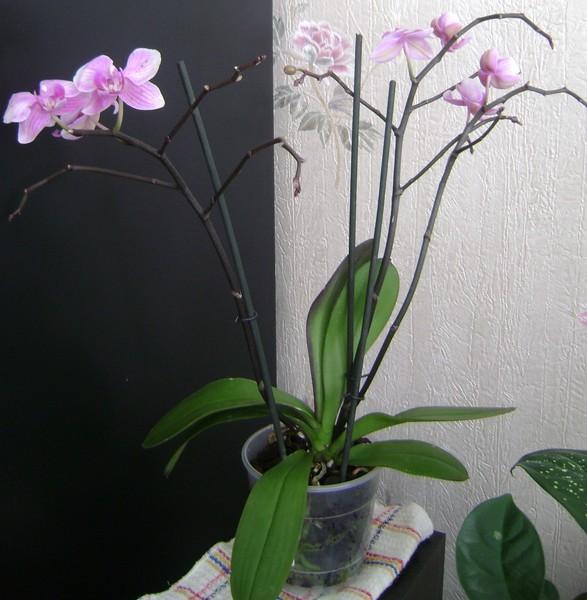сорта фаленопсисов  и названия