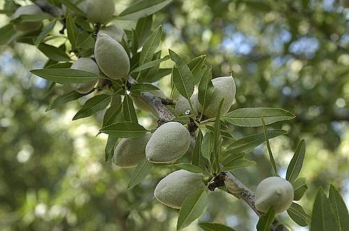 Прививка персика на дикий миндаль фото 288-639