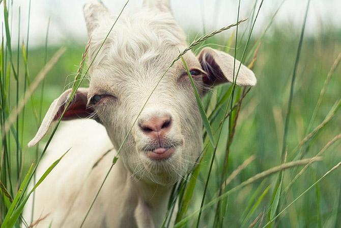 Прикольное картинки овцы и козы, статус