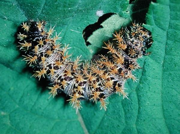 Гусеницы в конопле в суздале конопля