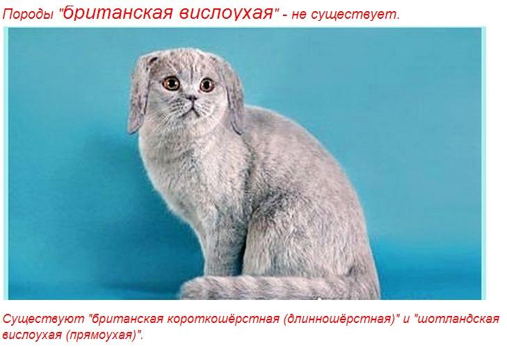 бред какие будут котята если скрестить вислоухого с вислоухой касается количества
