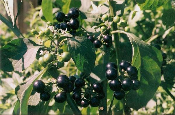 Растение черника форте фото