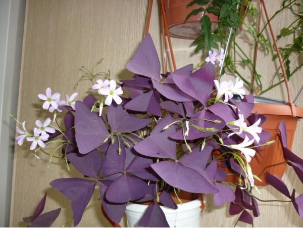 Кислица фото комнатный цветок