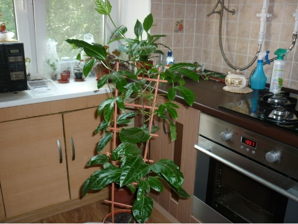 Маракуйя на огороде пассифлора свойства, маракуйа фрукт.