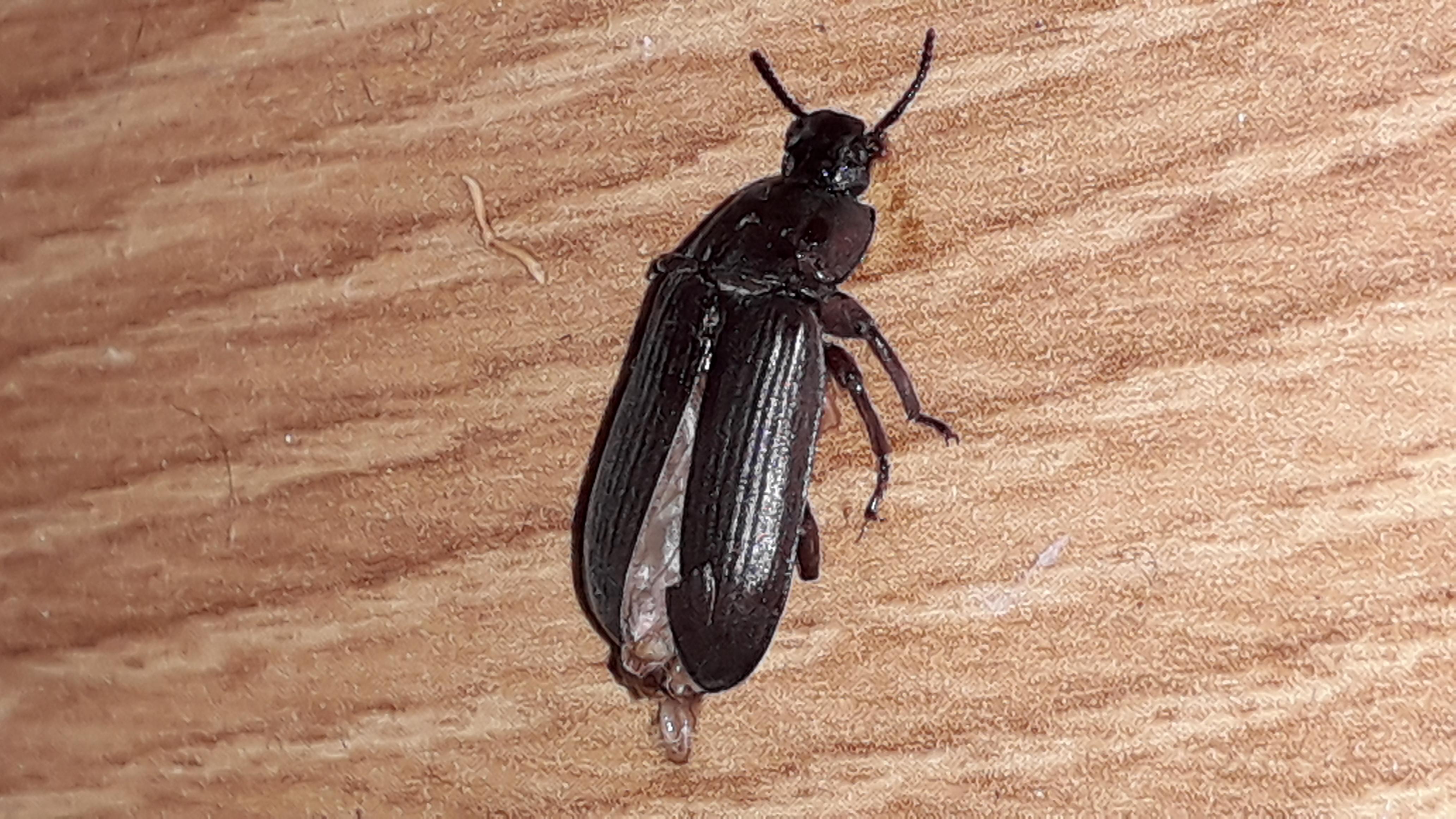 жуки похожие на тараканов фото смену традиционным кухонным