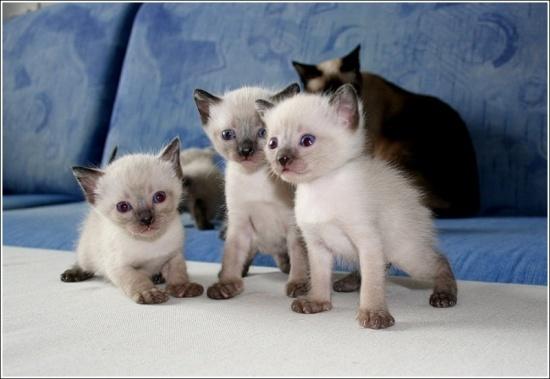 Цены на редкие породы - Самые дорогие породы кошек, фото