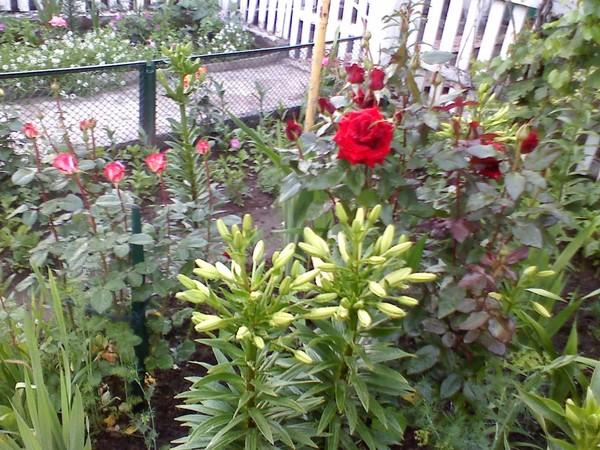 Когда выкапывать лилии и пересаживать