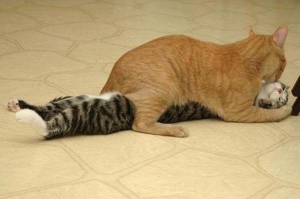 Секс котов и кошек