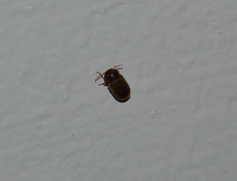 настолько жуки дома коричневые фото сижу