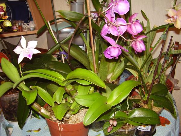 Комнатные цветы орхидеи и уход за ними