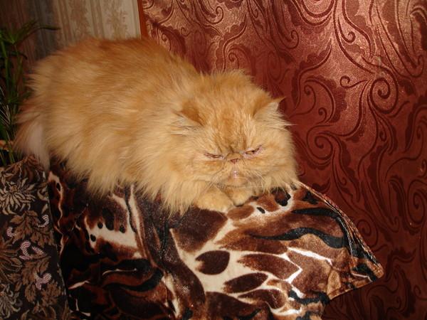 У кого много шерсти от кота