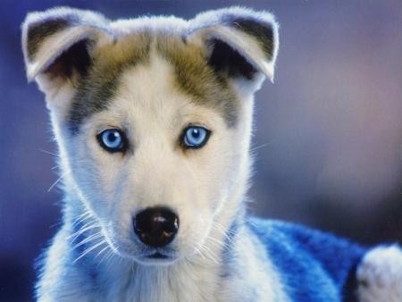 собаки порода лайка фото