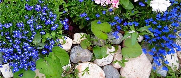 Как называется цветок синий