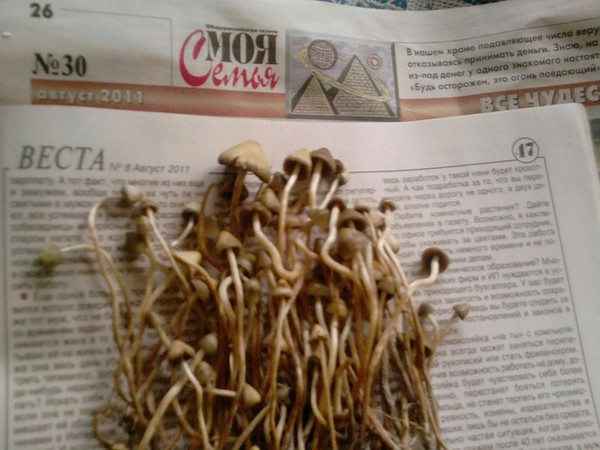 фото псилоцибиновый гриб