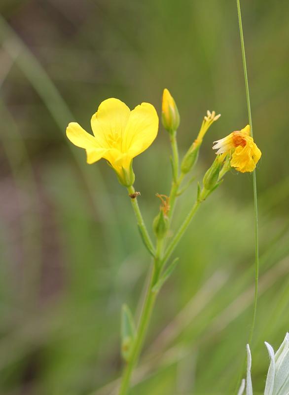 Степные желтые цветы фото и названия