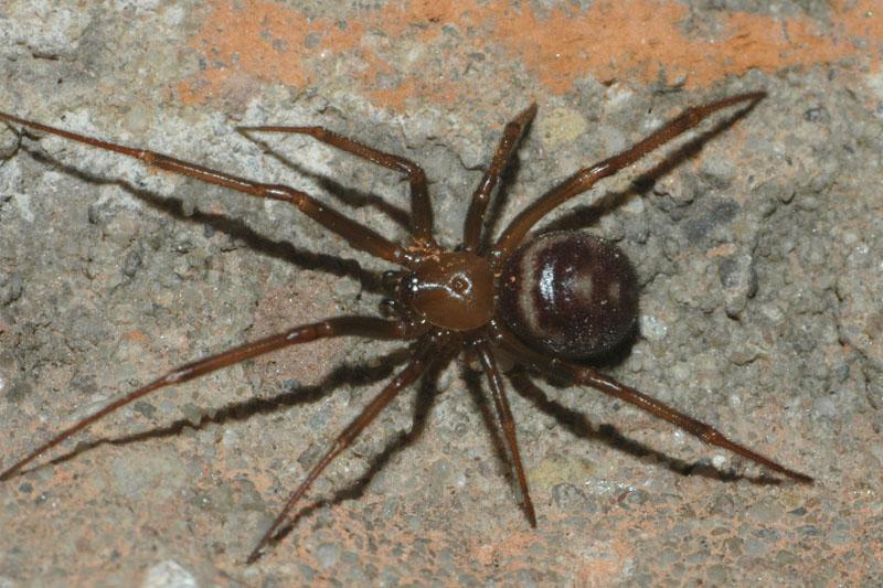рыжий пауки рода стеатода фото всех видов безопасные