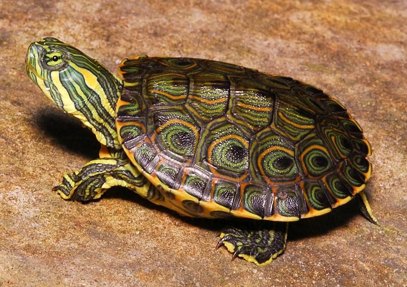 Виды водных черепах фото и название