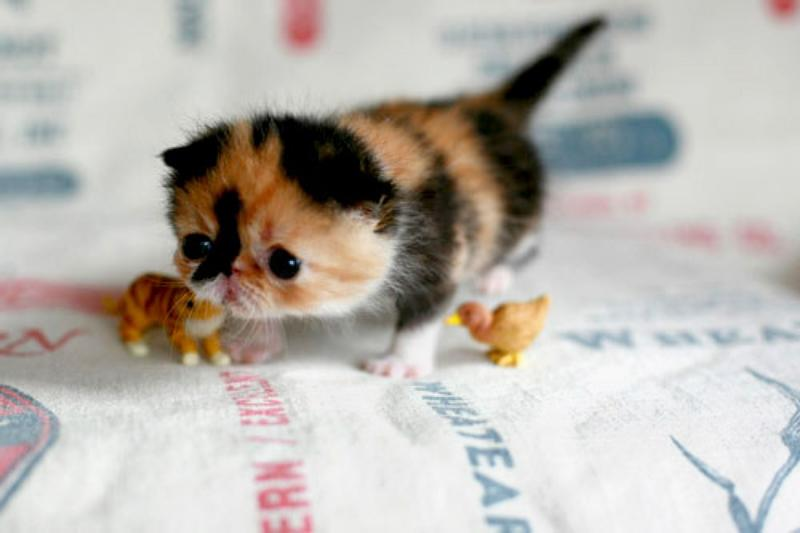 Cute baby calico cats