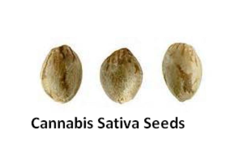 Можно ли семена конопли по марихуана от ростка