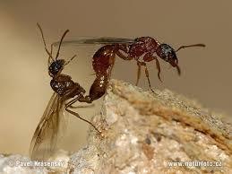 Секс муравьев