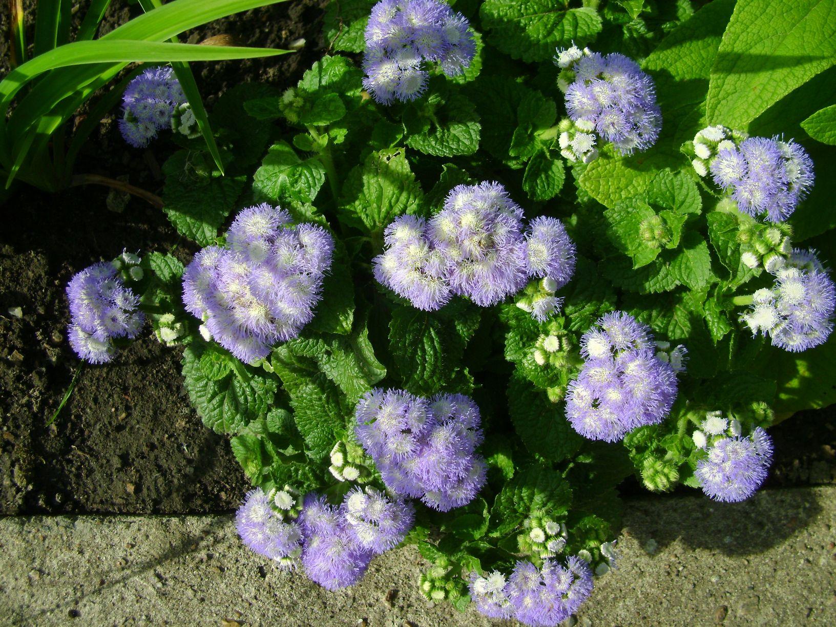 осот фото растение