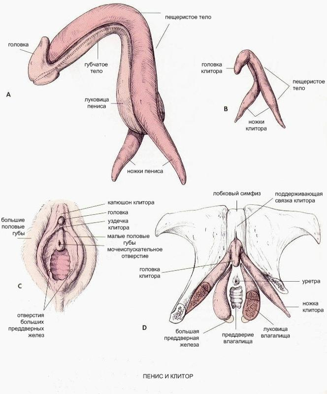 Diagram of clit, nude girls legs