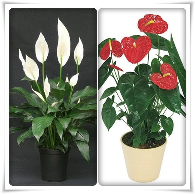 Женское и мужское счастье цветок уход