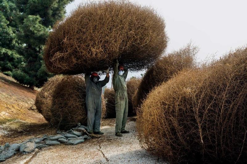 перекати поле растение фото