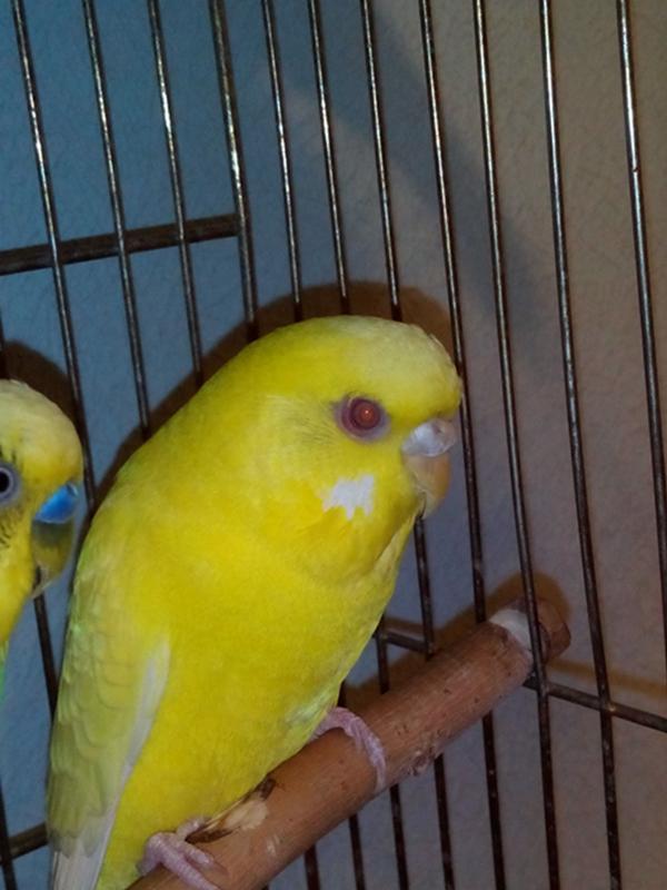 Почему у попугая красные глаза