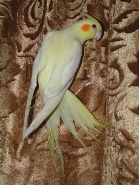 Попугай корелла хохолок