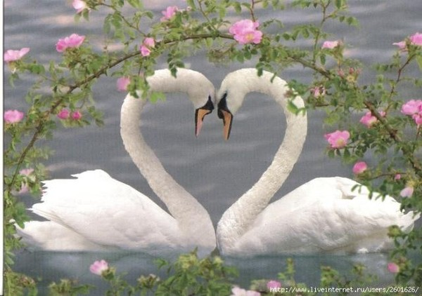 картинки лебеди любовь