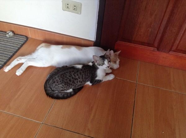 Подружатся ли коты