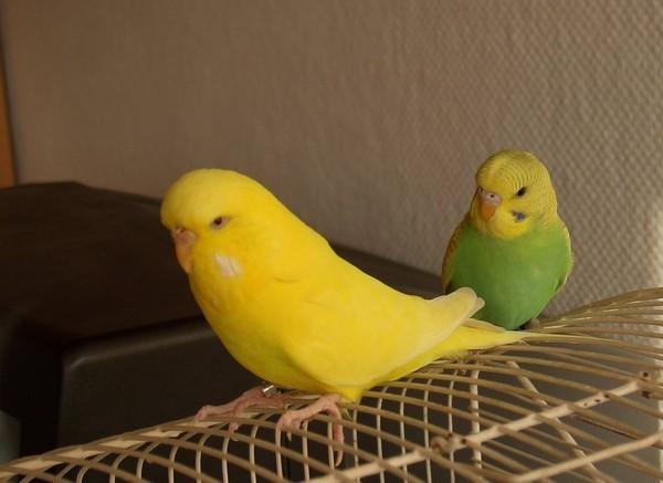 Можно ли волнистому попугаю гречку