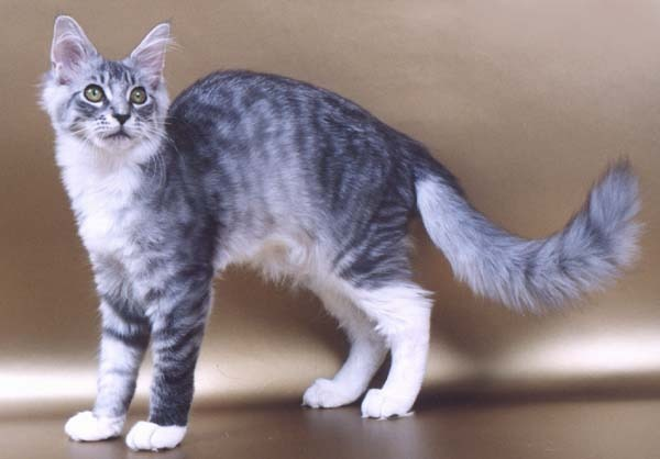 Silver and white tabby cat