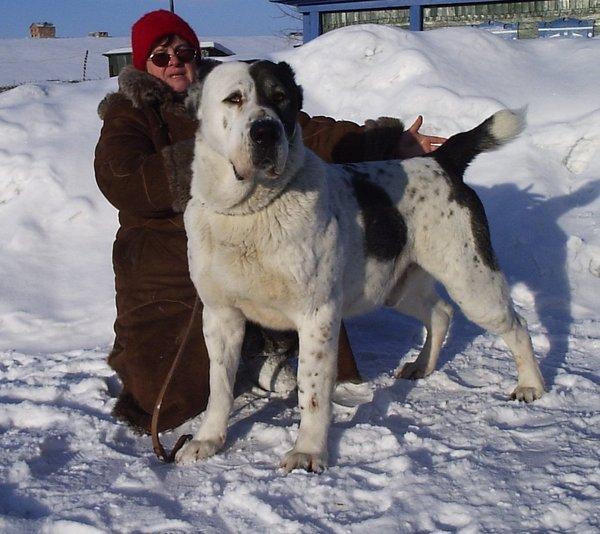 Мордаш порода собак фото