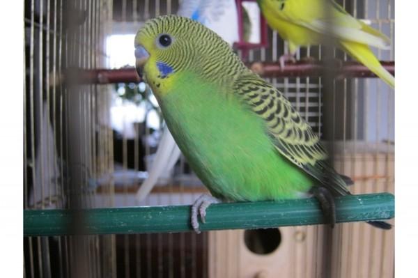 Молодые самки волнистого попугая