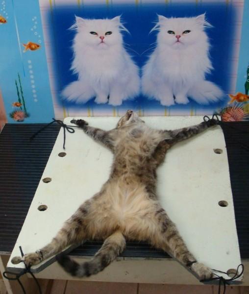Female cat sterilization